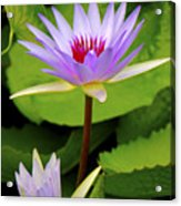 Water Lily In A Tropical Garden_4657 Acrylic Print