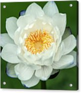 Water Lily In Bloom Acrylic Print