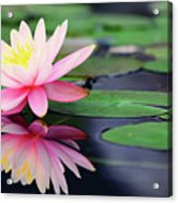 Water Lily In Lake Acrylic Print by Anakin Tseng