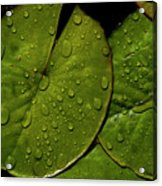 Water Lily Leaf Acrylic Print by Chaza Abou El Khair