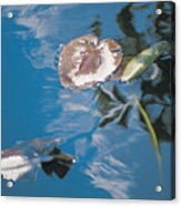 Water Lily Leaves And Reflection Of Clouds In Unknown Lake Acrylic Print