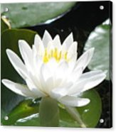 Water Lily Lovely Acrylic Print