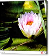 Water Lily No. 2 Acrylic Print