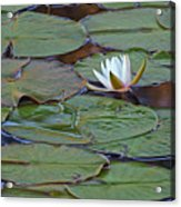 Water Lily Scene Acrylic Print