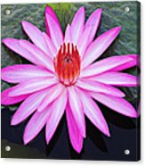 Water Lily-st Lucia Acrylic Print