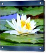 Water Lily With Blue Border - Digital Painting Acrylic Print