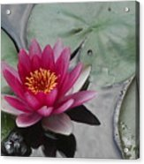Water Lily With Bubbles Acrylic Print