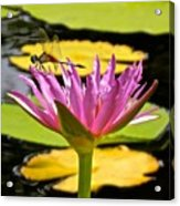 Water Lily With Dragonfly Acrylic Print