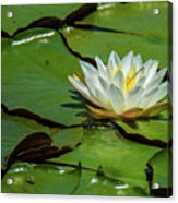 Water Lily With Friend Acrylic Print