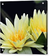 Water Lily Yellow Nymphaea Acrylic Print