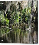 Water Reeds And Spanish Moss Acrylic Print