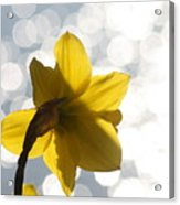Water Reflected Daffodil Acrylic Print