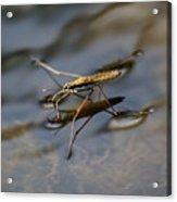 Water Strider Acrylic Print
