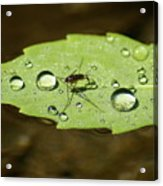 Water Strider Has A Drink At The Floating Leaf Cafe Acrylic Print