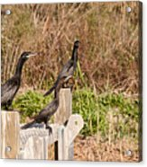 Water Turkeys In The Marsh Acrylic Print