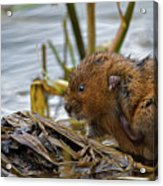 Water Vole Cleaning Acrylic Print