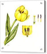 Watercolor Flower Yellow Tulip Acrylic Print