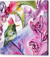 Watercolor - Frilled Coquette Hummingbird With Colorful Background Acrylic Print