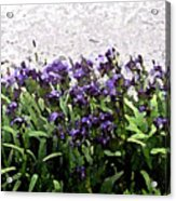 Watercolor Iris  Acrylic Print