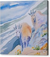 Watercolor - Mountain Goats On Quandary Acrylic Print