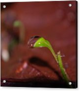 Waterdrop On A Litte Green Sprout  Acrylic Print