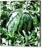 Waterelons In A Vegetable Garden Acrylic Print