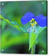 Watergrass Flower-st Lucia Acrylic Print