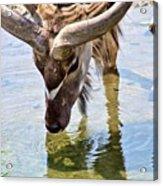 Watering Kudu Acrylic Print