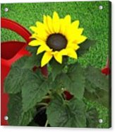 Watering With Sunflower Acrylic Print