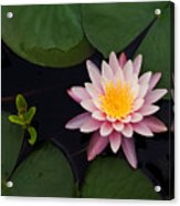 Waterlily - Study In Pink Acrylic Print