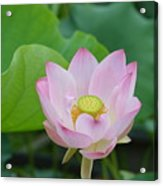 Waterlily Blossom With Seed Pod Acrylic Print