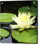 Waterlily In Yellow Acrylic Print