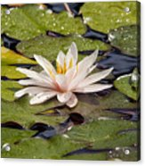 Waterlily On The Water Acrylic Print