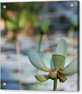 Waterlily Wash Horizontal Acrylic Print