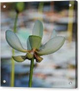Waterlily Wash  Vertical Acrylic Print