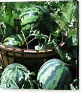 Watermelon In A Vegetable Garden Acrylic Print by Lanjee Chee