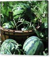Watermelon In A Vegetable Garden Acrylic Print