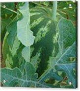 Watermelon Season  Acrylic Print