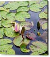 Watter Lily Acrylic Print