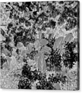 Waxleaf Privet Blooms On A Sunny Day In Black And White - Color Invert Acrylic Print