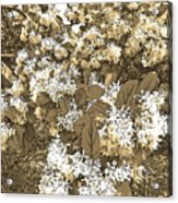 Waxleaf Privet Blooms On A Sunny Day In Sepia Tones Acrylic Print