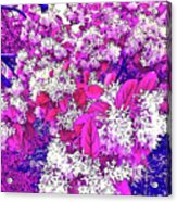 Waxleaf Privet Blooms On A Sunny Day With Magenta Hue Acrylic Print