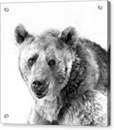 Wb Portrait Of A Bear Acrylic Print
