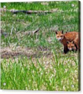 We Are 3 Red Fox Puppies Acrylic Print