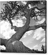 Weather Beaten Pine Tree And Sun - Monochrome Acrylic Print