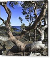 Weather Beaten Pine Tree At The Swedish High Coast Acrylic Print