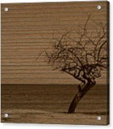 Weatherd Beach Tree Acrylic Print
