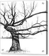 Weathered Old Tree Acrylic Print