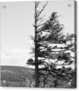 Weathered Tree Acrylic Print