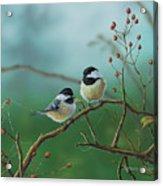 Web Chickadees Acrylic Print